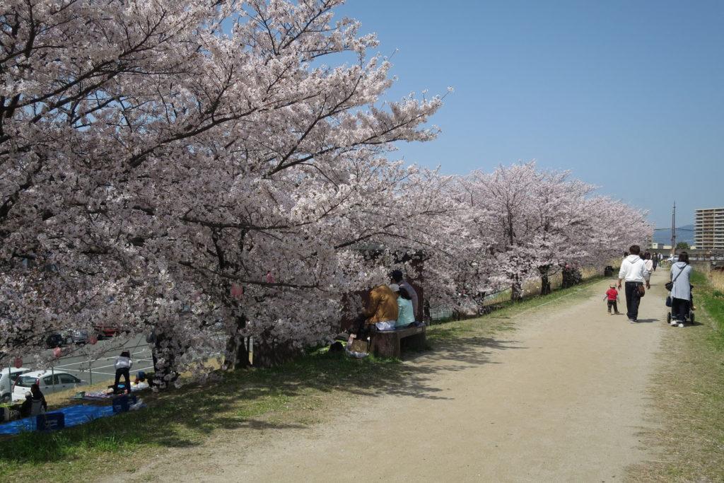 天野川堤防桜植樹